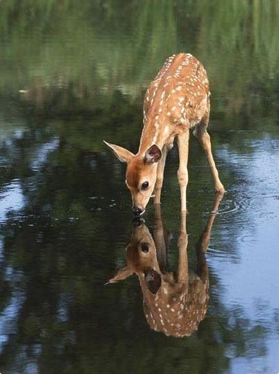 Deer Looking in Water